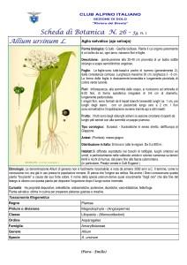 Allium ursinum n. 1