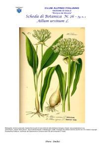 Allium ursinum n. 2