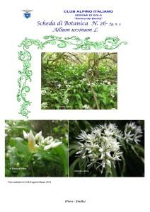 Allium ursinum n. 3