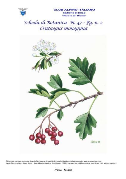 Scheda di Botanica n. 47 Crataegus monogyna fg. 2 - Piera, Emilio