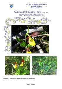 Cypripedium calceolus fg. 3