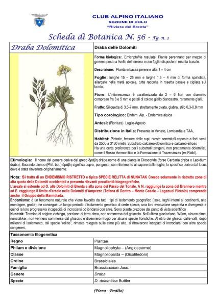 Draba dolomitica fg 1