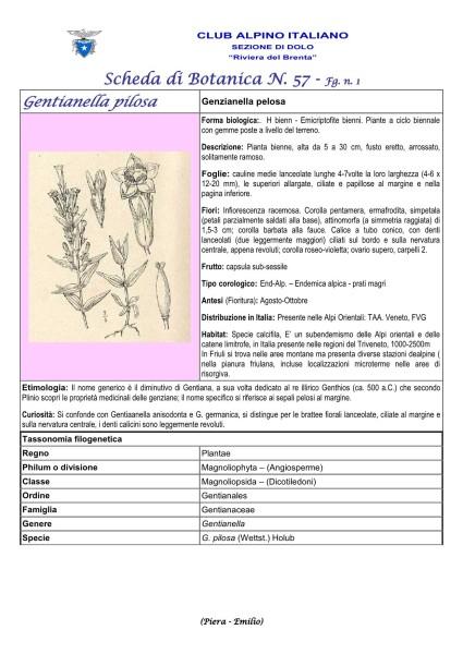 Scheda di Botanica N. 57 Gentianella pilosa fg. 1 - Piera, Emilio