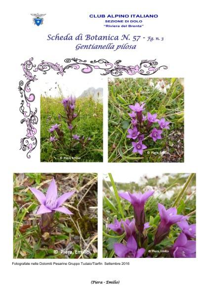 Scheda di Botanica N. 57 Gentianella pilosa fg. 3 - Piera, Emilio