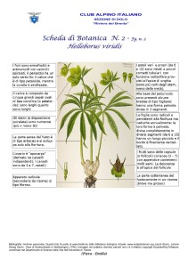 Helleborus viridis fg. 2