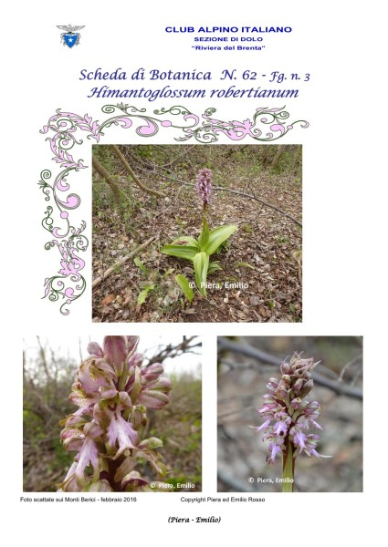 Scheda di Botanica N. 62 Himantoglossum robertianum fg.3 - Piera, Emilio