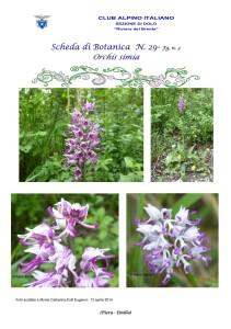 Orchis simia fg. n. 3