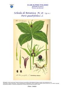 Paris quadrifolia fg. 2