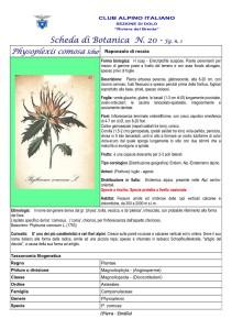 Physoplexis comosa fg. 1