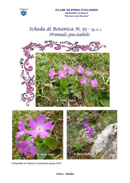 Scheda di Botanica n. 55 Primula spectabilis fg 3 - Piera, Emilio