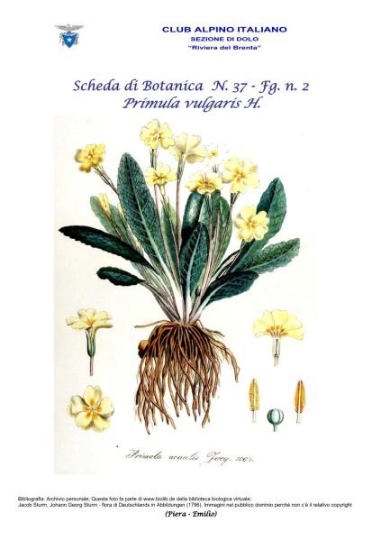 Scheda di Botanica n. 37 Primula vulgaris fg.2 - Piera, Emilio