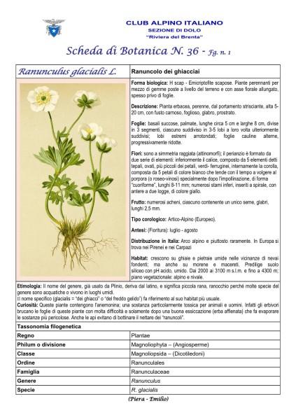 Scheda di botanica n.36 Ranunculus glacialis - Piera, Emilio
