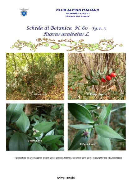 Scheda di Botanica N. 60 Ruscus aculeatus fg.3 - Piera, Emilio