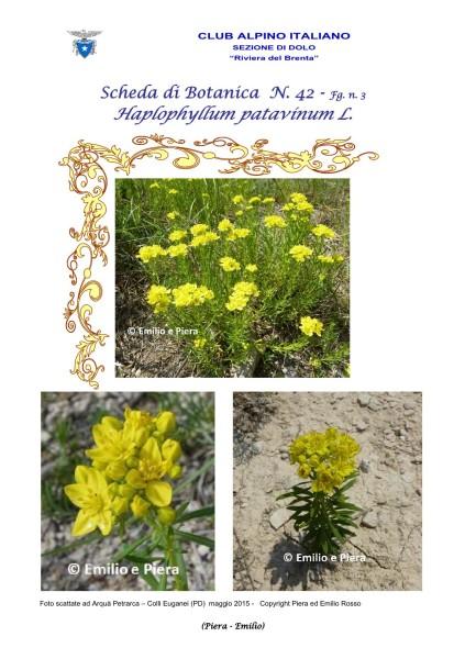SCHEDA N. 42 Haplophyllum patavinum L. fg 3 - Piera, Emilio