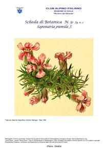 Saponaria pumila fg. 2