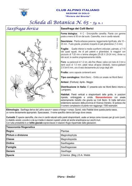 Scheda di Botanica n. 65 Saxifraga berica fg. 1 - Piera, Emilio